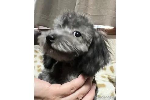 トイプードルの子犬(ID:1242011191)の1枚目の写真/更新日:2020-08-26