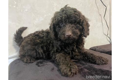 トイプードルの子犬(ID:1242011199)の1枚目の写真/更新日:2021-04-01