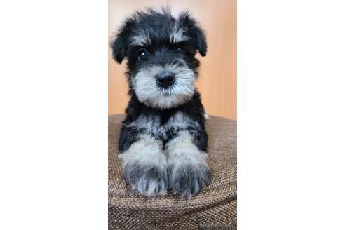 ミニチュアシュナウザーの子犬(ID:1242011201)の1枚目の写真/更新日:2021-05-07