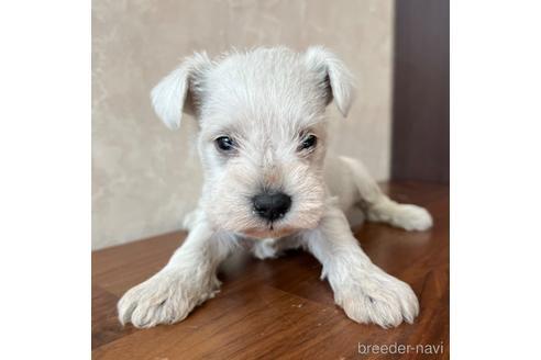 ミニチュアシュナウザーの子犬(ID:1242011202)の1枚目の写真/更新日:2021-05-07