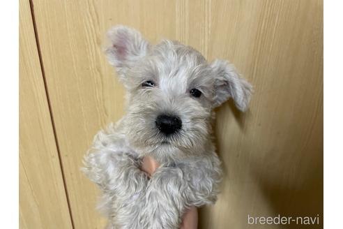 ミニチュアシュナウザーの子犬(ID:1242011203)の1枚目の写真/更新日:2021-05-07