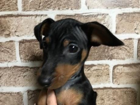ミニチュアピンシャーの子犬(ID:1242311012)の1枚目の写真/更新日:2018-11-30