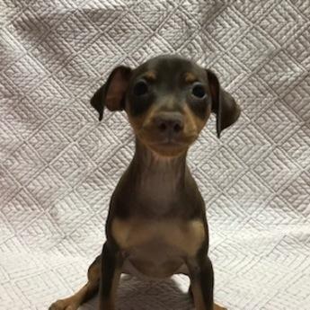 ミニチュアピンシャーの子犬(ID:1242311015)の1枚目の写真/更新日:2019-11-05