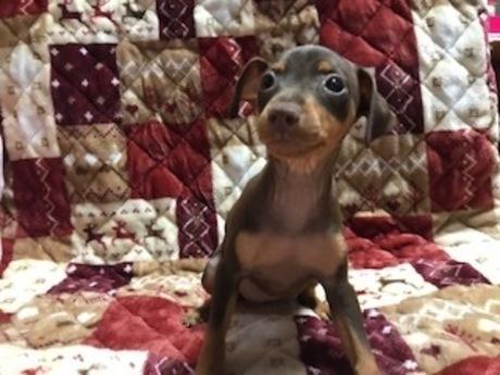 ミニチュアピンシャーの子犬(ID:1242311015)の2枚目の写真/更新日:2019-11-05