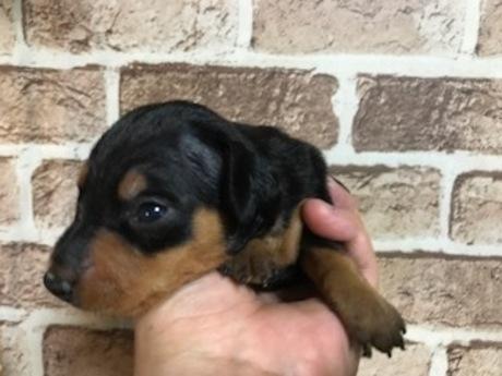 ミニチュアピンシャーの子犬(ID:1242311018)の3枚目の写真/更新日:2019-07-13