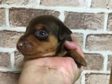 ミニチュアピンシャーの子犬(ID:1242311019)の1枚目の写真/更新日:2019-09-13