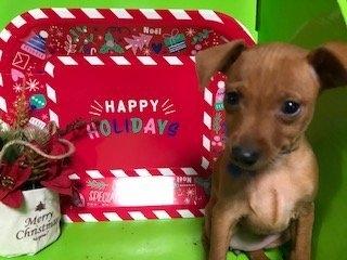 ミニチュアピンシャーの子犬(ID:1242311020)の1枚目の写真/更新日:2020-12-07