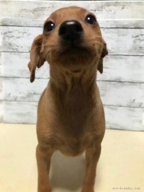 ミニチュアピンシャーの子犬(ID:1242311027)の2枚目の写真/更新日:2021-09-24