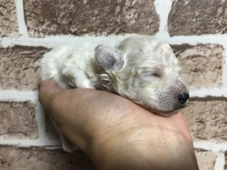 トイプードルの子犬(ID:1242311062)の2枚目の写真/更新日:2019-03-25