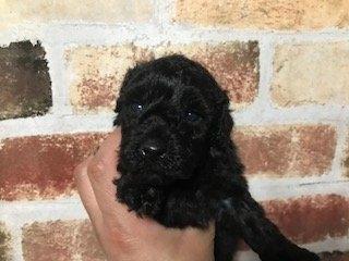 トイプードルの子犬(ID:1242311067)の1枚目の写真/更新日:2020-10-30