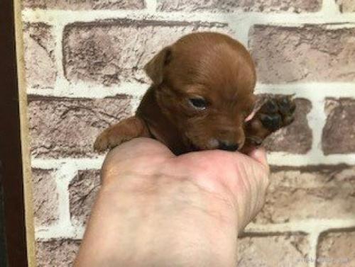 ミニチュアピンシャーの子犬(ID:1242311071)の2枚目の写真/更新日:2021-03-25