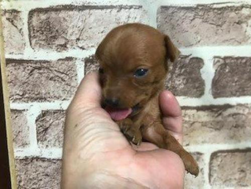 ミニチュアピンシャーの子犬(ID:1242311071)の3枚目の写真/更新日:2021-03-25