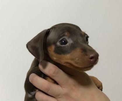 ミニチュアピンシャーの子犬(ID:1242311110)の2枚目の写真/更新日:2018-06-29