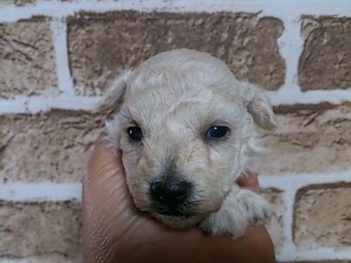 トイプードルの子犬(ID:1242311112)の1枚目の写真/更新日:2017-01-10