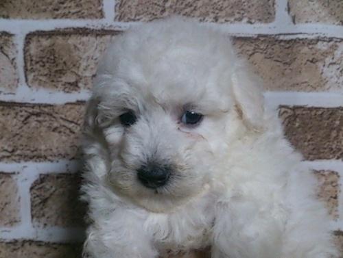 トイプードルの子犬(ID:1242311113)の1枚目の写真/更新日:2017-01-31