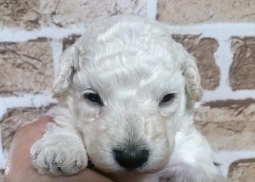 トイプードルの子犬(ID:1242311114)の1枚目の写真/更新日:2017-01-09