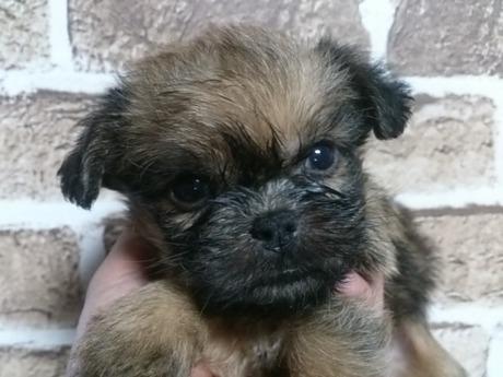 ブリュッセルグリフォンの子犬(ID:1242311116)の1枚目の写真/更新日:2017-01-12