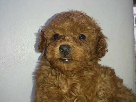 トイプードルの子犬(ID:1242311117)の1枚目の写真/更新日:2017-03-06