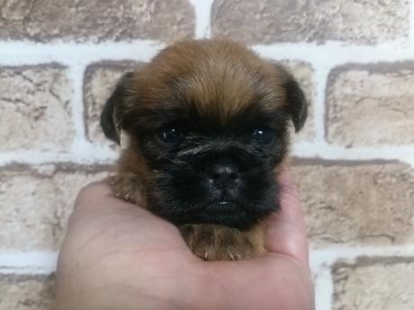 ブリュッセルグリフォンの子犬(ID:1242311118)の1枚目の写真/更新日:2017-04-14