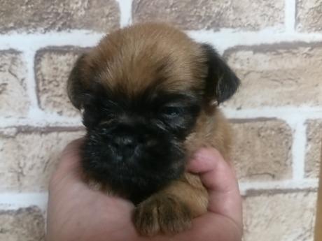 ブリュッセルグリフォンの子犬(ID:1242311118)の2枚目の写真/更新日:2017-04-14