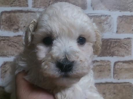 トイプードルの子犬(ID:1242311121)の1枚目の写真/更新日:2017-04-03