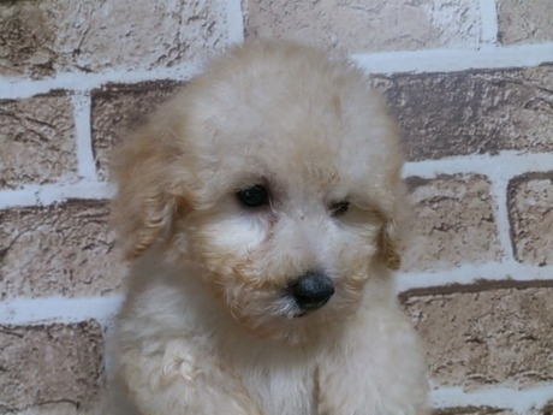 トイプードルの子犬(ID:1242311122)の2枚目の写真/更新日:2017-05-06
