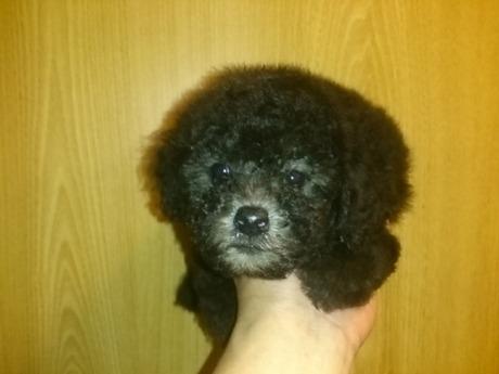 トイプードルの子犬(ID:1242311123)の1枚目の写真/更新日:2017-06-03