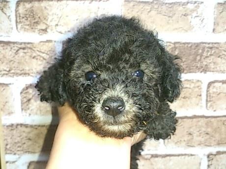 トイプードルの子犬(ID:1242311123)の2枚目の写真/更新日:2017-06-03