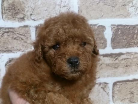 トイプードルの子犬(ID:1242311125)の1枚目の写真/更新日:2017-04-03