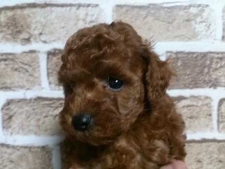 トイプードルの子犬(ID:1242311127)の2枚目の写真/更新日:2017-04-03