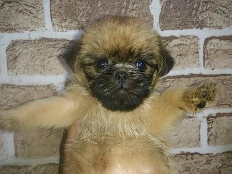 ブリュッセルグリフォンの子犬(ID:1242311130)の1枚目の写真/更新日:2017-06-12