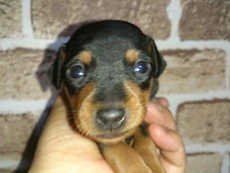 ミニチュアピンシャーの子犬(ID:1242311132)の1枚目の写真/更新日:2017-06-12