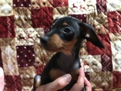 ミニチュアピンシャーの子犬(ID:1242311135)の1枚目の写真/更新日:2017-06-12