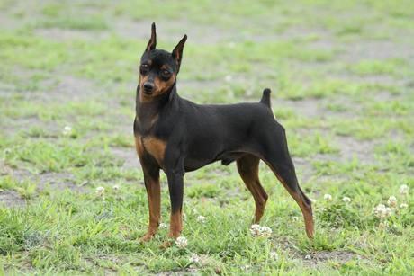 ミニチュアピンシャーの子犬(ID:1242311138)の2枚目の写真/更新日:2017-07-21