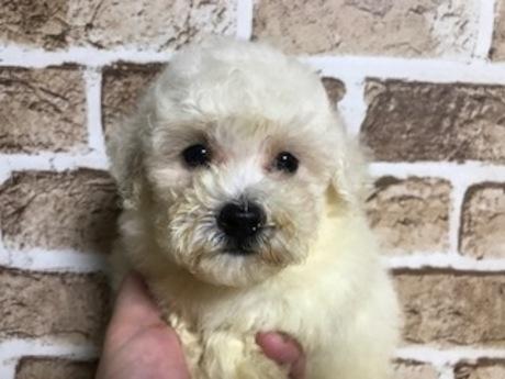 トイプードルの子犬(ID:1242311139)の1枚目の写真/更新日:2017-08-04