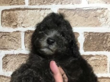 トイプードルの子犬(ID:1242311150)の1枚目の写真/更新日:2018-05-15