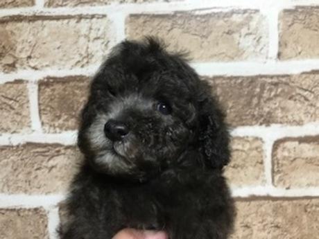 トイプードルの子犬(ID:1242311150)の2枚目の写真/更新日:2018-05-15