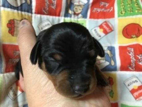 ミニチュアピンシャーの子犬(ID:1242311151)の1枚目の写真/更新日:2017-12-08