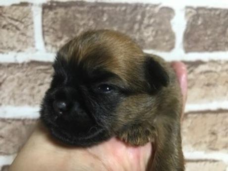 ブリュッセルグリフォンの子犬(ID:1242311152)の1枚目の写真/更新日:2018-09-25
