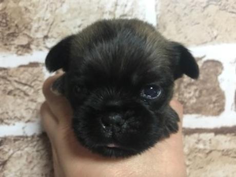 ブリュッセルグリフォンの子犬(ID:1242311155)の1枚目の写真/更新日:2018-02-13