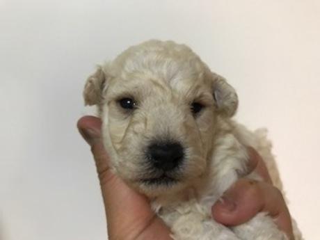 トイプードルの子犬(ID:1242311159)の1枚目の写真/更新日:2018-04-02