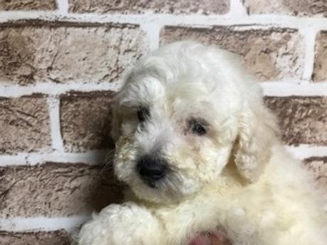 トイプードルの子犬(ID:1242311160)の1枚目の写真/更新日:2018-05-15