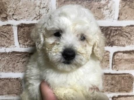 トイプードルの子犬(ID:1242311160)の2枚目の写真/更新日:2018-05-15