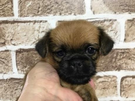 ブリュッセルグリフォンの子犬(ID:1242311161)の1枚目の写真/更新日:2018-05-15