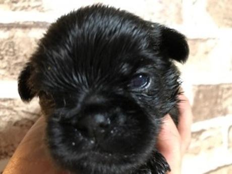 ベルジアングリフォンの子犬(ID:1242311162)の1枚目の写真/更新日:2018-04-02