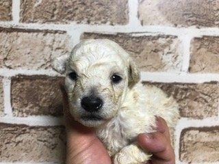 トイプードルの子犬(ID:1242311163)の1枚目の写真/更新日:2018-04-19