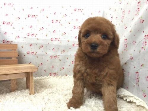 トイプードルの子犬(ID:1242411181)の1枚目の写真/更新日:2015-10-22
