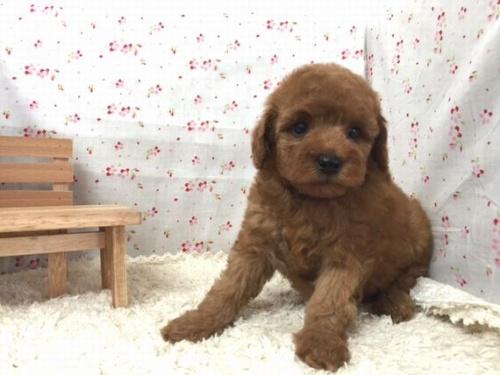 トイプードルの子犬(ID:1242411181)の2枚目の写真/更新日:2015-10-22