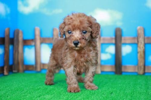 トイプードルの子犬(ID:1242411182)の1枚目の写真/更新日:2015-10-22