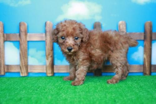 トイプードルの子犬(ID:1242411182)の2枚目の写真/更新日:2015-10-22
